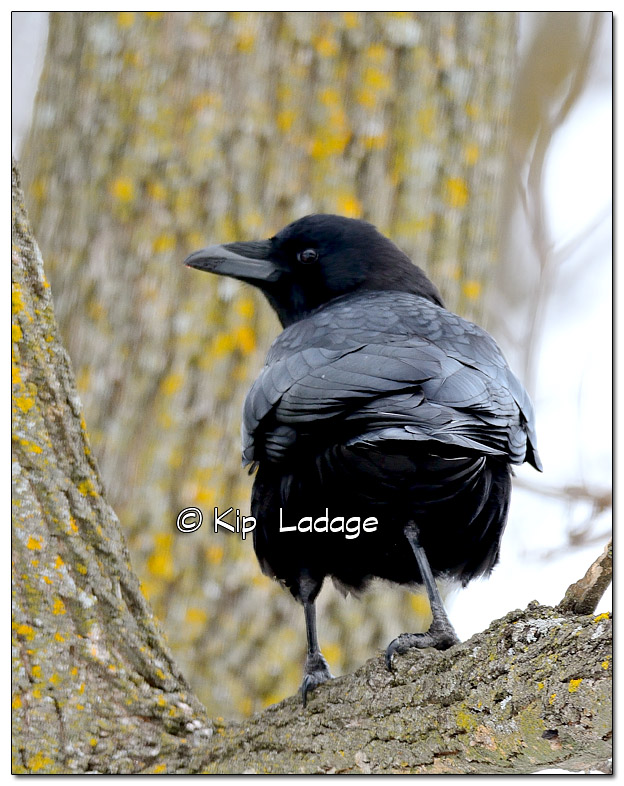 American Crow - Image 352681
