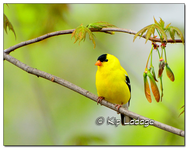 American Goldfinch 11x14 - Image 254543