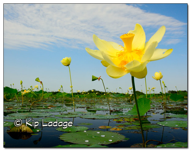 American Lotus at Sweet Marsh 11x14 - Image 334019