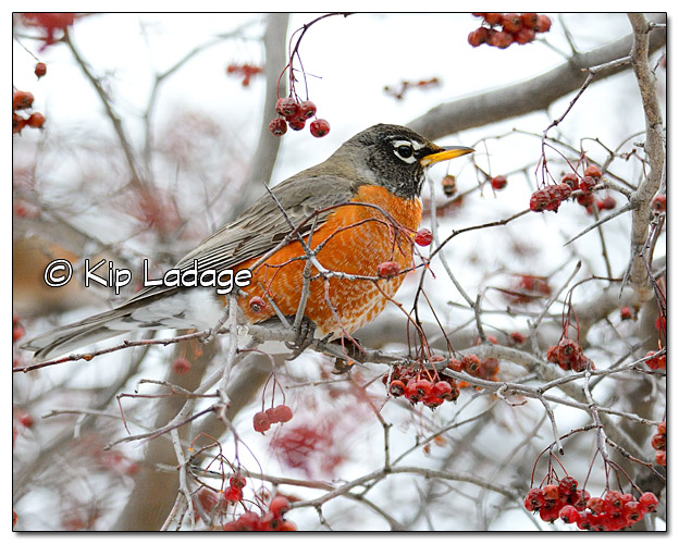 American Robin Eating Berries in January in Iowa = Image 352466