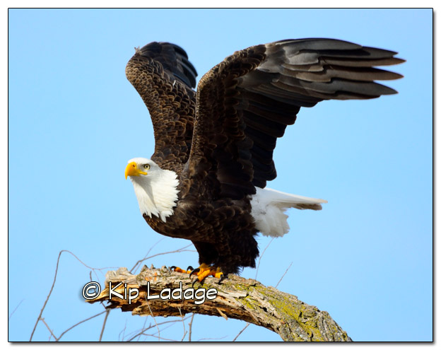 Bald Eagle 11x14 - Image 291698