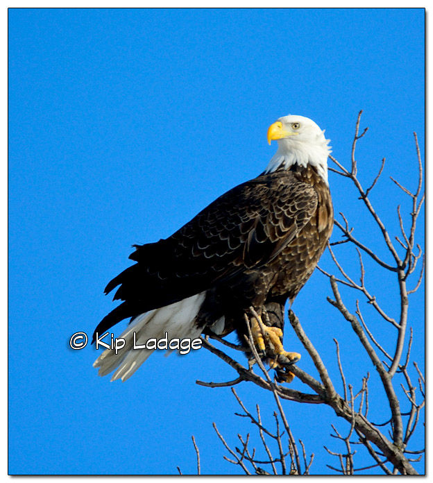 Adult Bald Eagle in Tree - Image 351474
