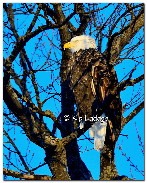 Bald Eagle in Tree - Image 351910