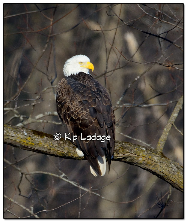 Bald Eagle on Branch - Image 351985