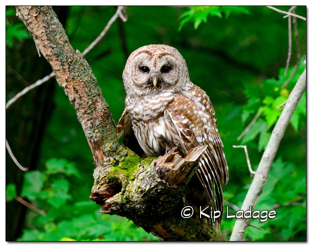 Barred Owl 11x14 - Image 326351