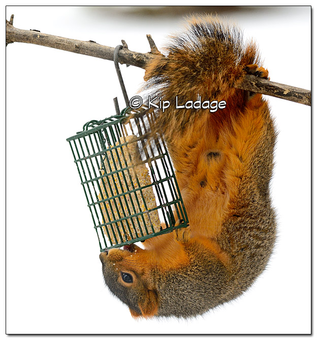 Fox Squirrel Stealing Suet - Image 351523