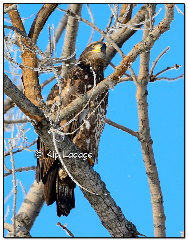 Juvenile Bald Eagle in Frosty Tree - Image 351048