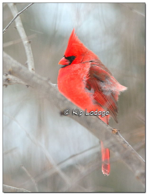 Male Northern Cardinal in Tree - Image 351119