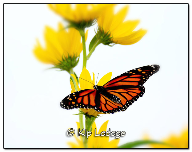 Monarch Butterfly on Sunflower 11x14 - Image 339367