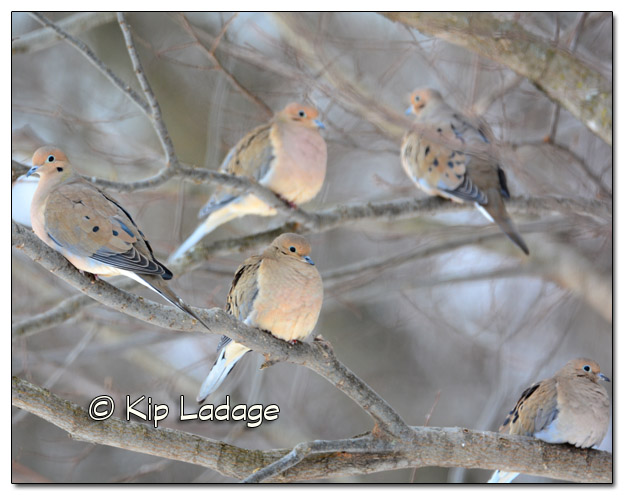 Mourning Doves in Tree - 11x14 - Image 35962