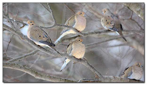 Mourning Doves in Tree - Image 350962