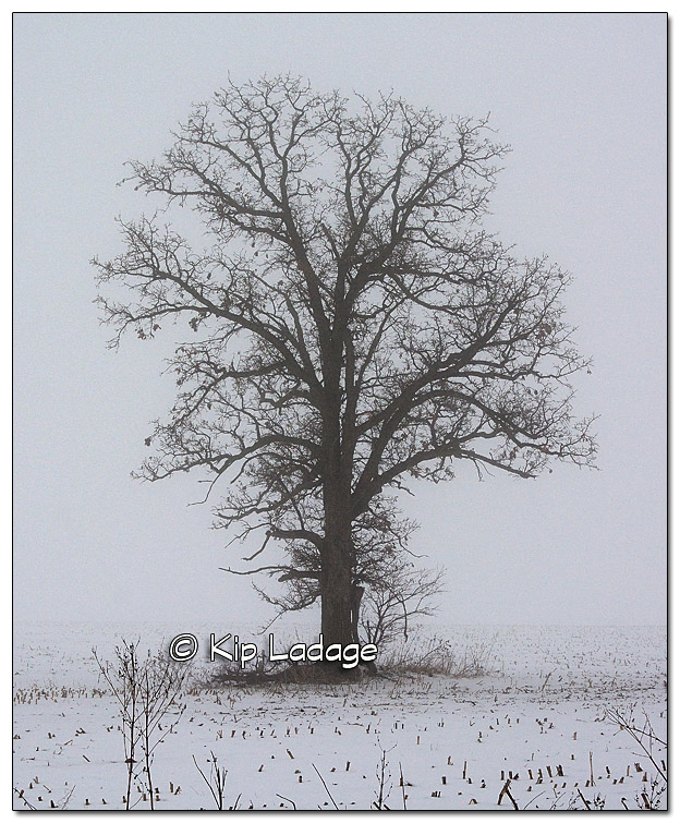 Oak Tree in Fog - Image 351081