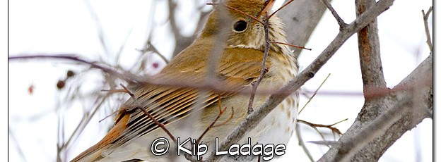 Possible Hermit Thrush - Image 352611