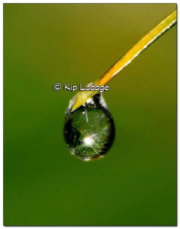 Raindrop on White Pine Needle - Image 351103