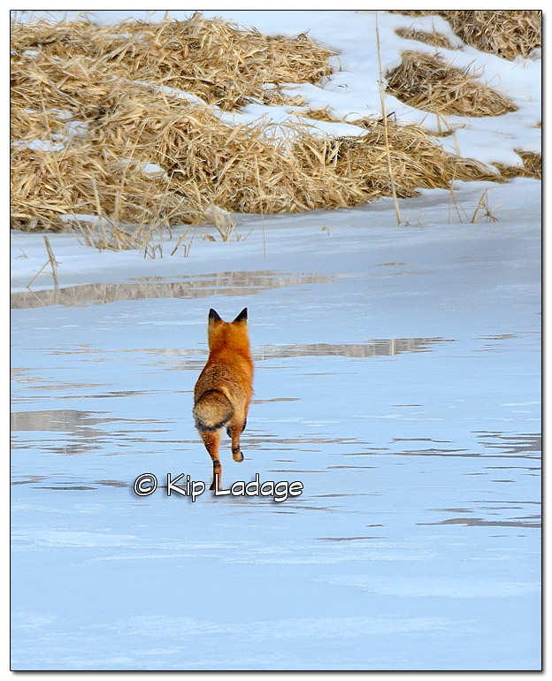 Red Fox Running Away - Image 352838