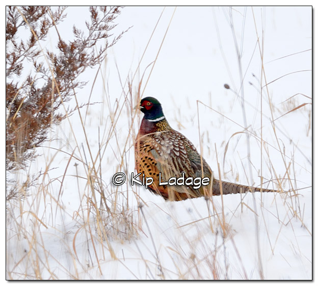 Rooster Ring-necked Pheasant - Image 351323