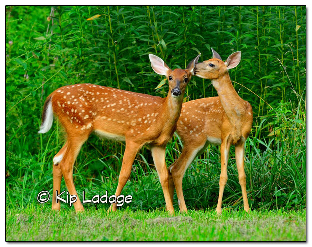 Whitetail Deer Fawns 11x14 - Image 333377