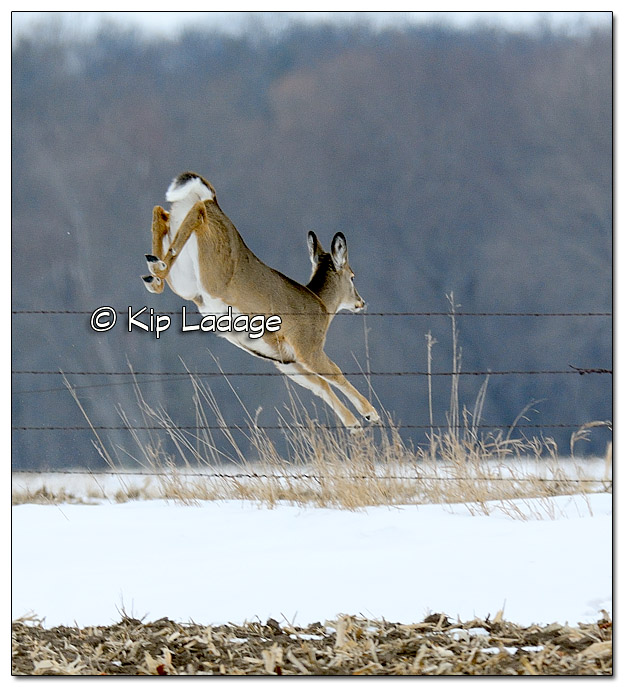 Whitetail Deer Running - Image 351942