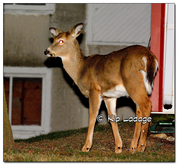 Whitetail Deer at Night - Image 351475