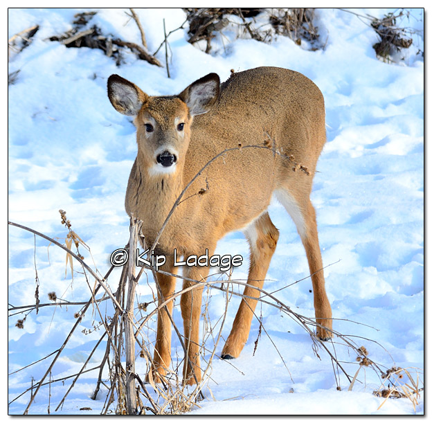 Whitetail Doe Deer in Snow - Image 351953