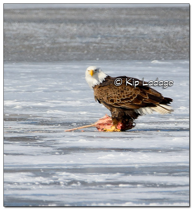 Adult Bald Eagle With Fish - Image 354331