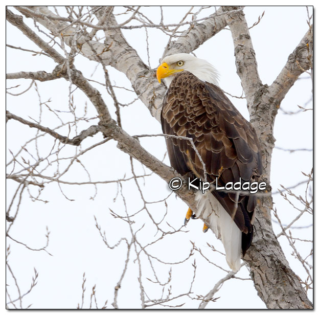 Bald Eagle in Tree - Image 353301