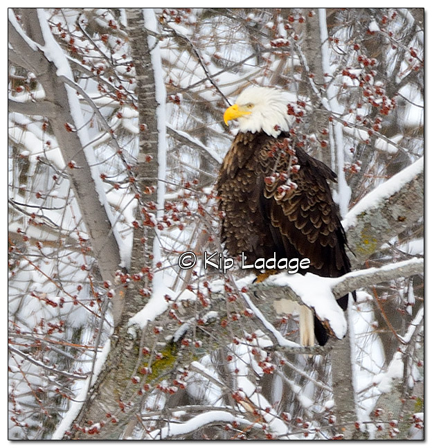 Bald Eagle in Snowy Trees - Image 353052