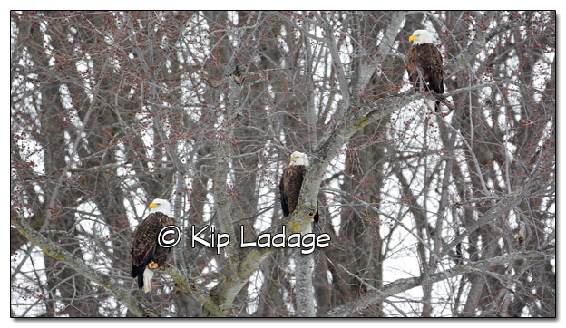 Bald Eagles in Tree in Snow - Image 354171