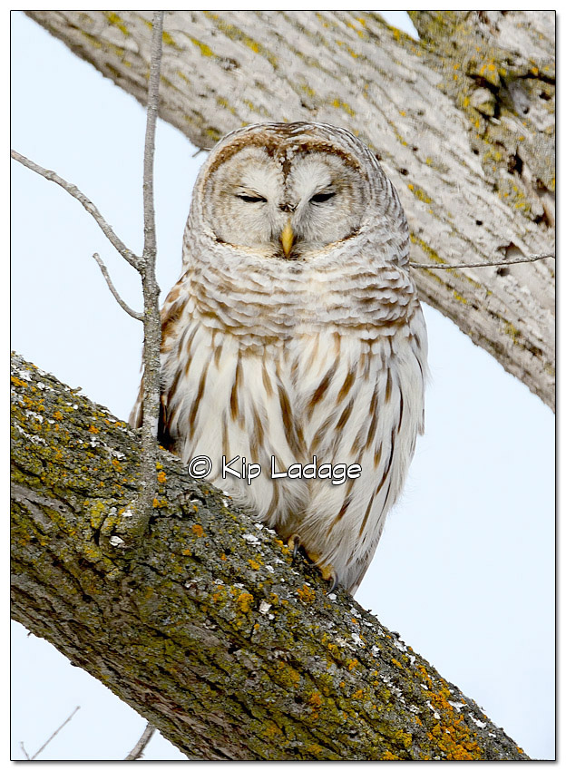 Barred Owl - Image 356590