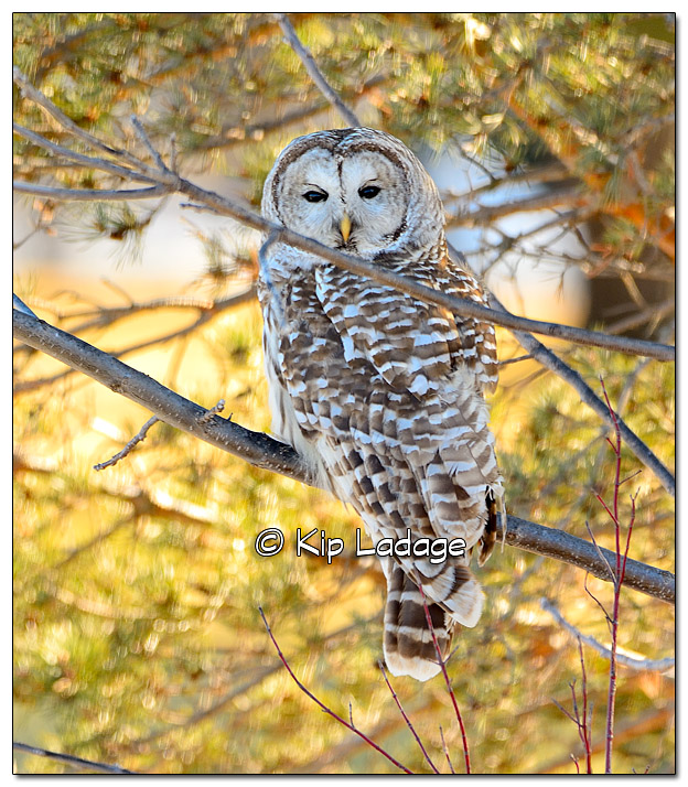Barred Owl - Image 357272
