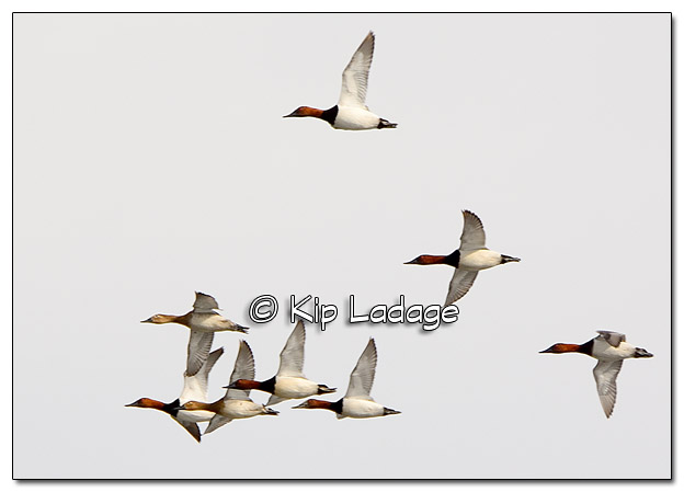 Canvasback Ducks - Image 357942