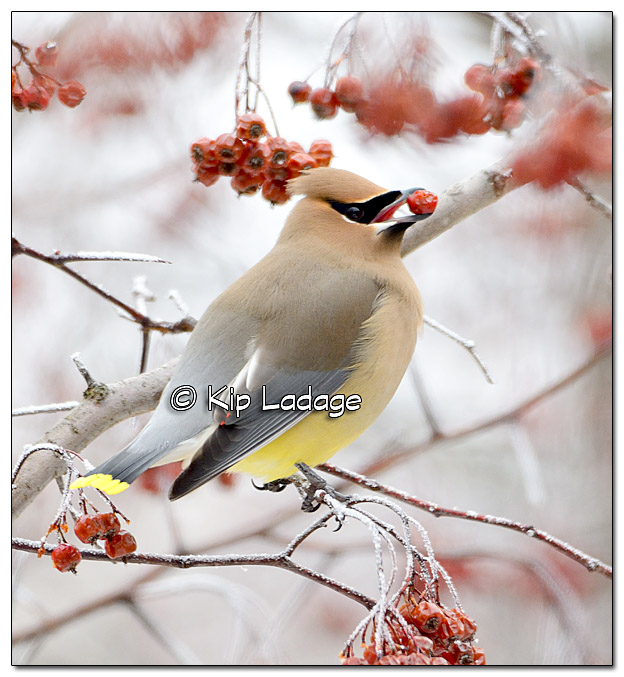 Cedar Waxwing in Frosty Tree with Berries - Image 352936