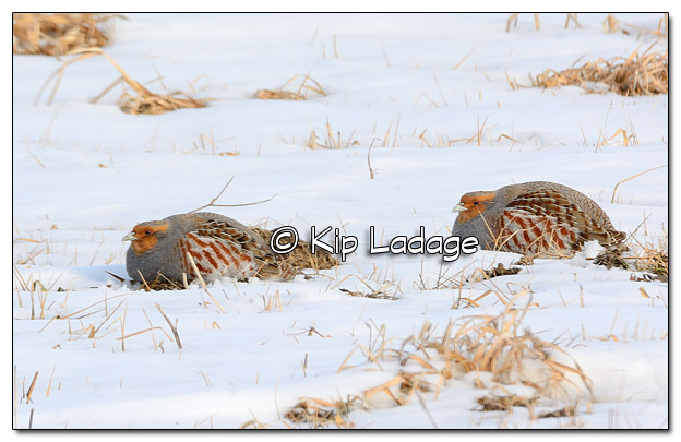 Gray Partridge in Snow - Image 354990