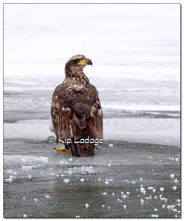 Juvenile Bald Eagle on Ice - Image 354290