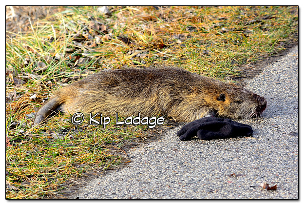 Possible Dead Nutria - Image 356818