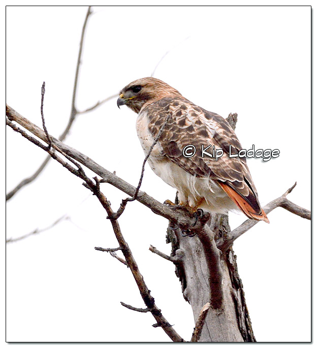 Red-tailed Hawk - Image 357168