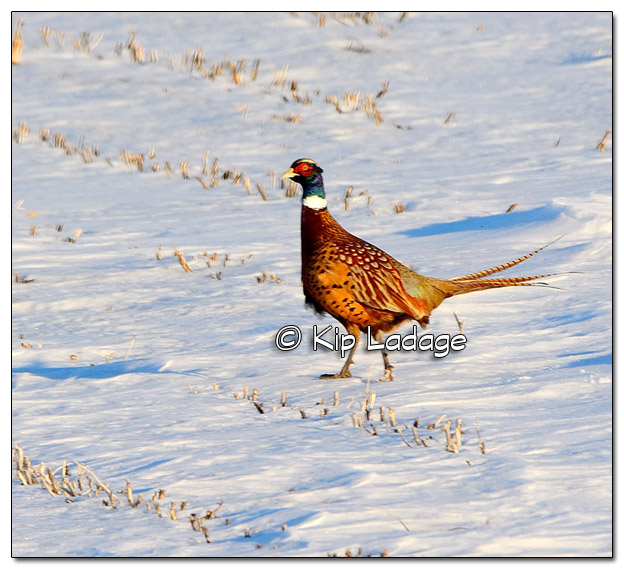 Ring-necked Pheasant in Snowy Field - Image 353969