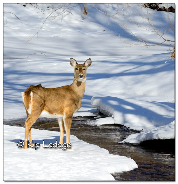 Whitetail Deer Near Stream in Winter - Image 354270c