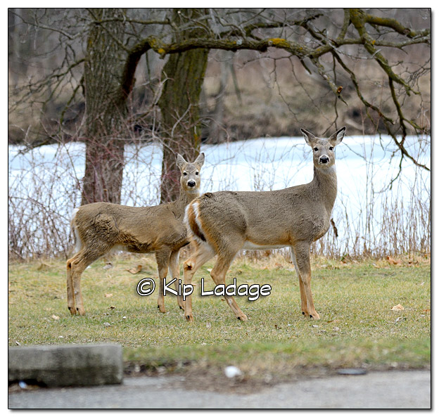 Whitetail Deer at George Wyth State Park - Image 357161