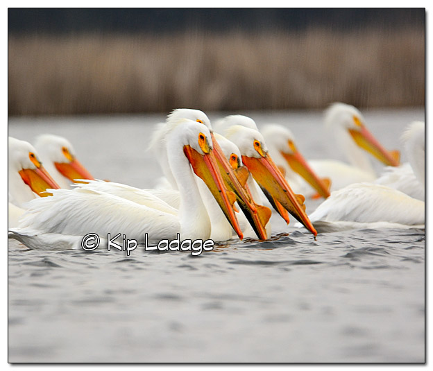 American White Pelicans at Sweet Marsh - Image 365358