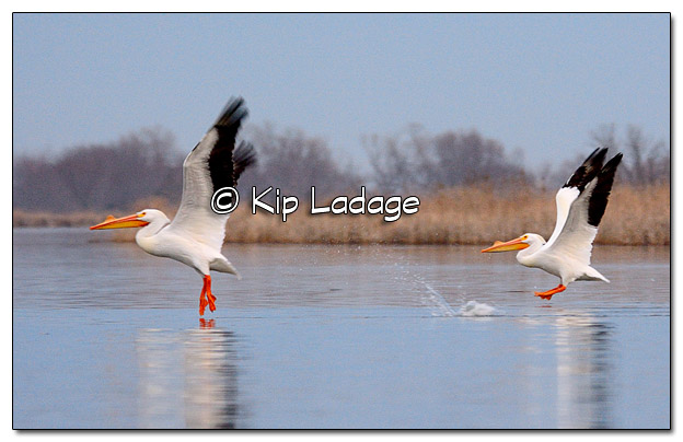 American White Pelicans at Sweet Marsh - Image 364765