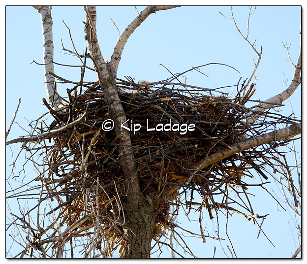 Bald Eagle on Nest - Image 363127