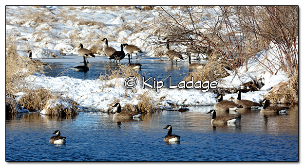 Canada Geese in Snowy Marsh - Image 358263