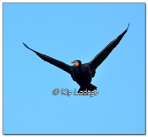 Double-crested Cormorant in Flight at Big Woods Lake - Image 365607