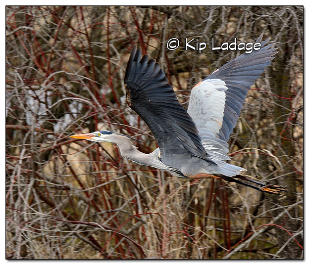Great Blue Heron at Sweet Marsh - Image 364659