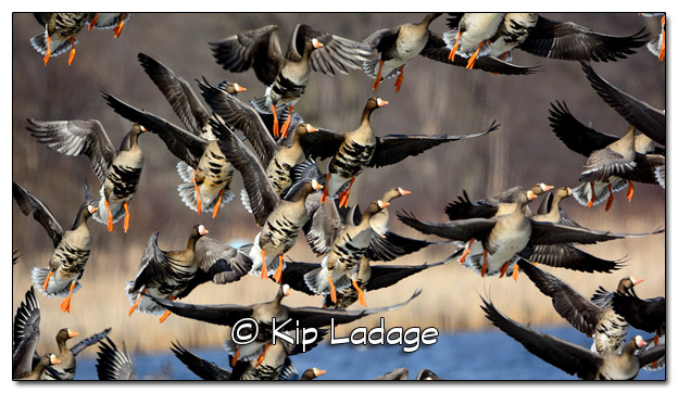 Greater White-fronted Geese - Image 360744