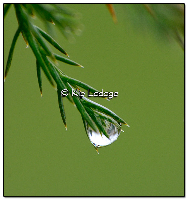 Raindrop on Cedar Tree - Image 363100