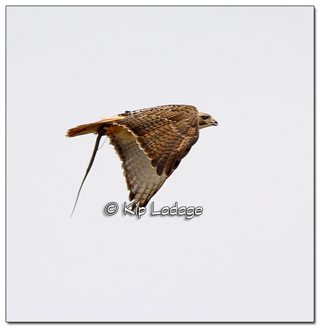 Red-tailed Hawk in Flight With Snake - Image 366713