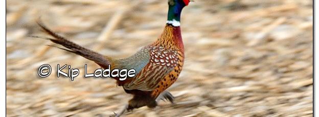 Rooster Ring-necked Pheasant Running in Field - Image 364877