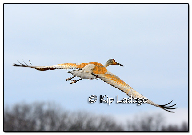 Sandhill Crane at Sweet Marsh - Image 365472